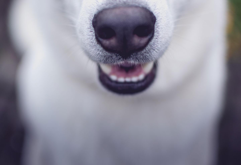 boca de un lobo