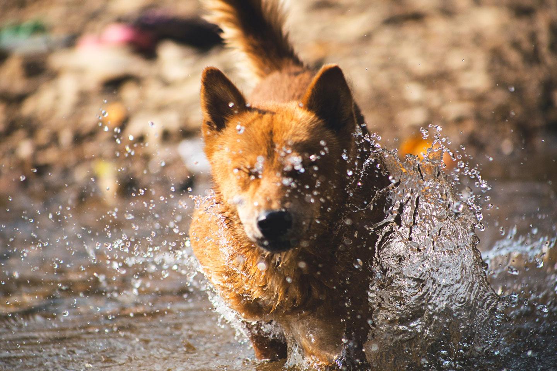 perro lobo cruzando un río