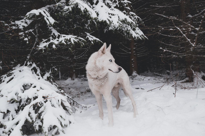 lobo blanco en la nieve