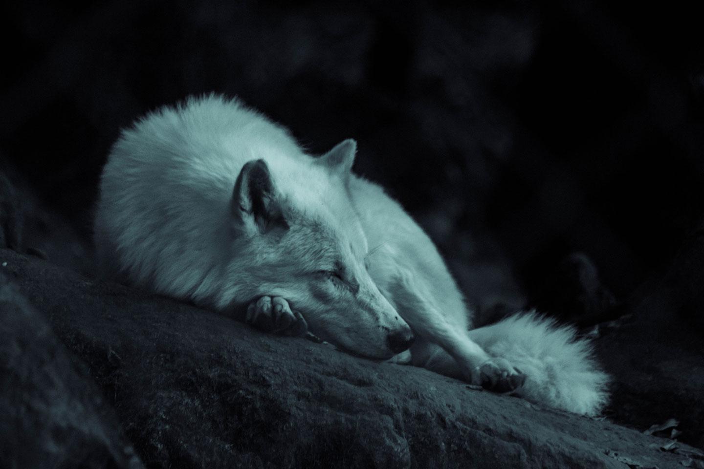 los lobos árticos