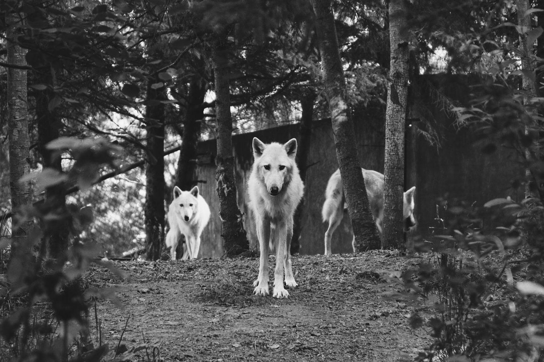 manda de lobos caza