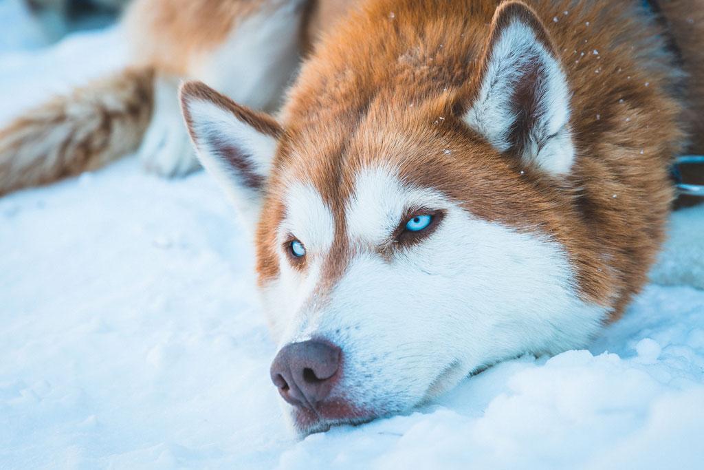 husky siberiano marron