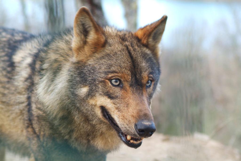 lobo ibérico en cautividad