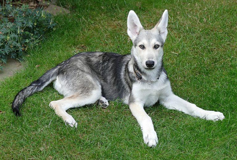 perro lobo de Saarlos
