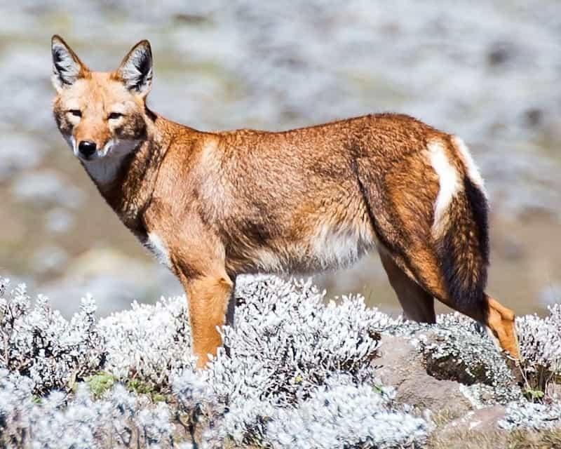 lobo etíope