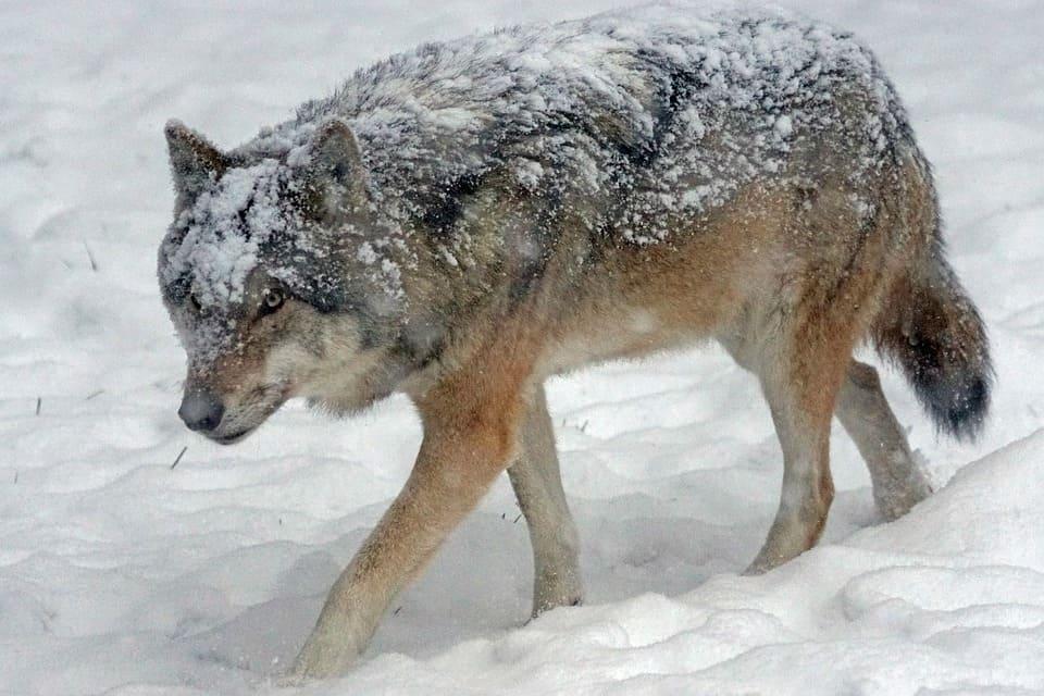 lobo rojo