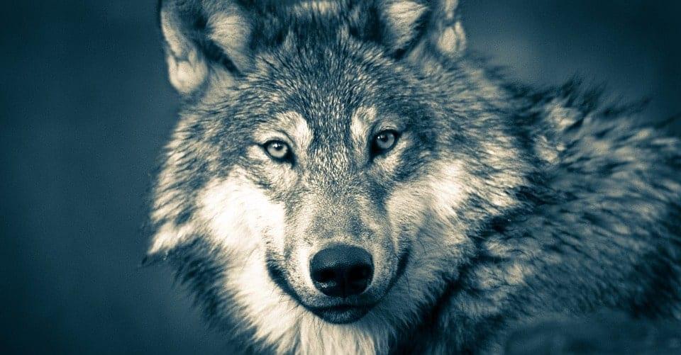 cabeza_lobo_gris