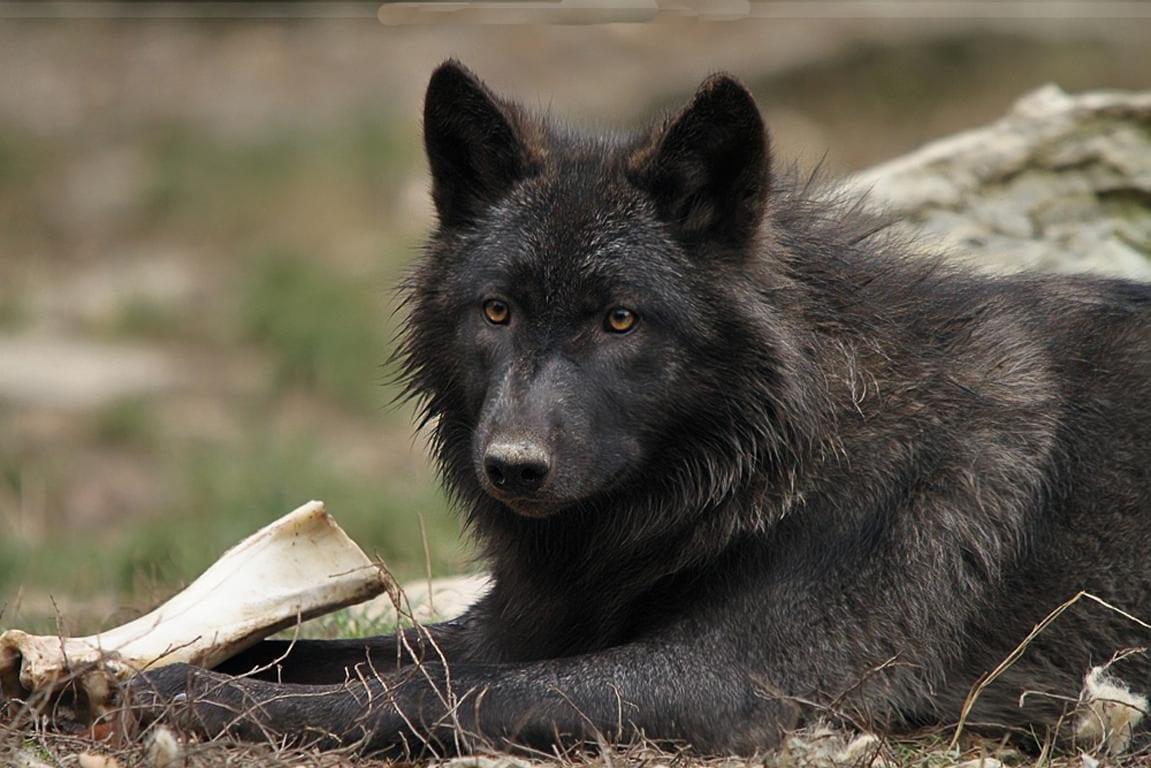 lobo negro americano