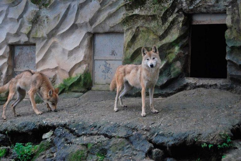 lobos himalayos